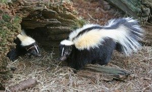 Paw-Pals-Pet-Sitting-Skunks-300x181