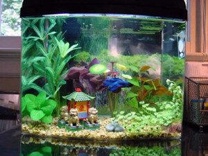 Betta-Fish-Paw-Pals-300x225