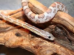 Corn-Snake-Paw-Pals