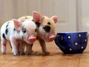 Pot-belly-pig-Paw-Pals-300x225