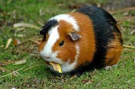 Responsibility-Guinea-pig-Paw-Pals
