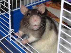 Responsibility-Rat-Paw-Pals-300x225