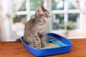 gray cat sitting in one of the top cat litter boxes that is odor-free