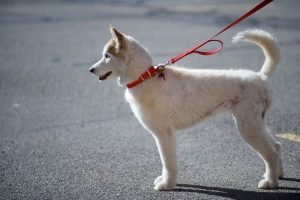 Alaskan husky being walked on a road by professional Fairfax, VA dog walking services