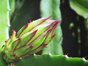 Picture of corn plant that among the top house plants poisonous to cats