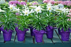 Picture of lilies that among the top house plants poisonous to cats