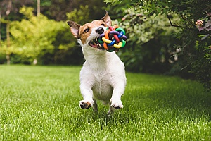 a dog playing with a toy that is offered by northern Virginia pet sitting services while its owners are away