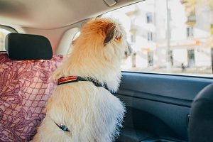 dog looking out window in the back seat of a car with a safety leash on