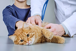 a cat who is being treated by a vet after being transported by a pet sitting services company