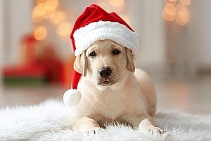 a dog wearing a Santa Claus hat and is ready to eat one of the holiday dog treats that his owners made for him