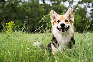 a dog who is smiling after spending time with a dog sitting services company and she is now playing in the field with her owners