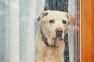 a dog who will not go in the rain so his owners hired dog walking services to help
