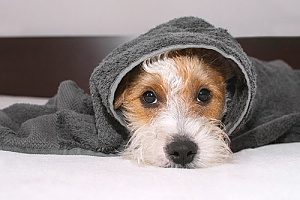a dog with a towel over herself after receiving dog walking services in the rain