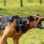 an aggressive off leash dog baring its teeth