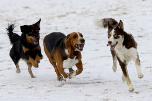 three dogs that are off the leash playing in the snow