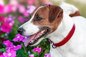 a red dog training collar worn by a dog