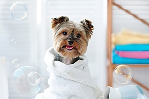 a yorkie getting groomed and bathed after a long day indoors