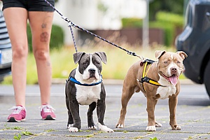 two dogs with different fitness levels being walked