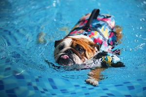 bulldog in the pool with a dog cooling vest