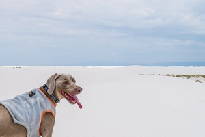 dog at a beach with a cooling vest on