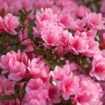 Azalea-Poisonous plants to dogs