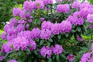 Rhododendron- Poisonous to Dogs